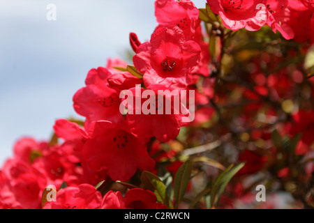 Beautiful red azalea blooms captured in early spring in Shrewsbury, England. - Stock Photo