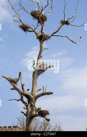 Storks nesting in a dead tree, Gafete, Portugal, Alentejo region - Stock Photo