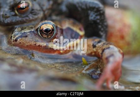 Common Frogs  Rana Temporaria - Stock Photo
