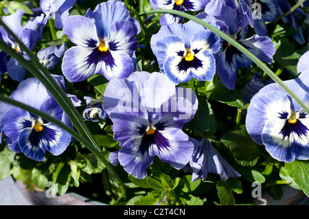 Purple pansies - Stock Photo