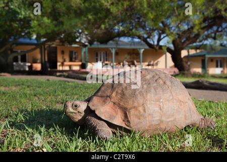 Leopard (Mountain) Tortoise, Geochelone pardalis, Samara private game reserve, Eastern Cape, South Africa - Stock Photo