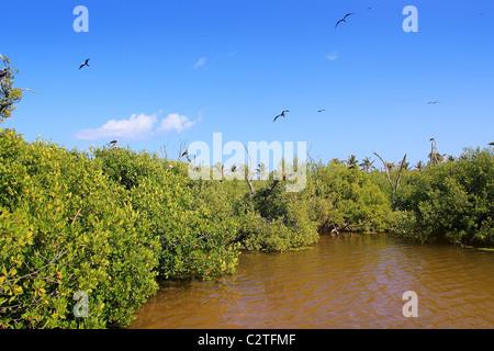 frigate bird reproduction in Contoy island mangroves Quintana Roo - Stock Photo