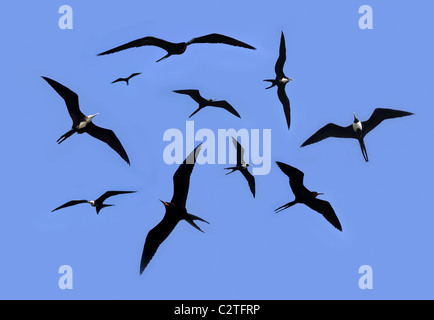 frigate bird silhouette backlight breeding season sky background - Stock Photo