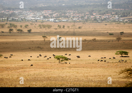 A herd of cape buffalo walking on the plain with a town in the background - Stock Photo