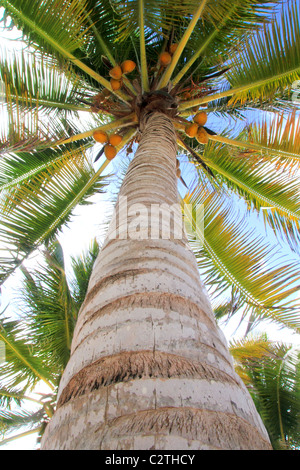Coconuts palm tree perspective view from floor high up - Stock Photo
