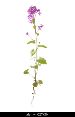 honesty plant isolated on white background - Stock Photo