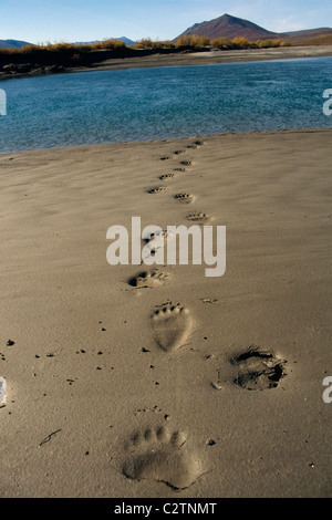 Grizzly Bear Tracks in Mud Along Shore Noatak River AK AR Autumn - Stock Photo