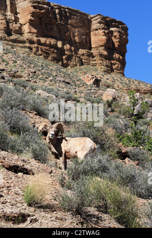 desert bighorn sheep or Ovis canadensis nelsoni ram on the Tonto Plateau in the Grand Canyon of Arizona - Stock Photo