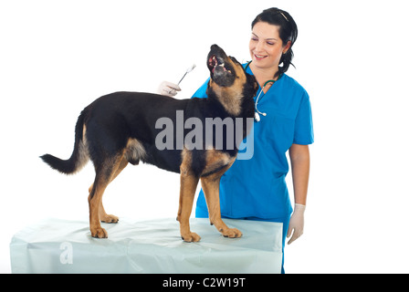 Smiling veterinary woman want to clean ears to a playful dog - Stock Photo