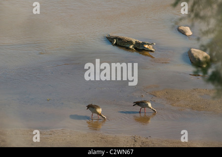 Nile Crocodile (Crocodilus niloticus) and Egyptian Geese (Alopochen aegyptiacus) co-existing in Galana River in - Stock Photo