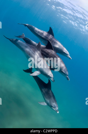 Bottle nose dolphins, Sodwana Bay, South Africa, Indian Ocean - Stock Photo