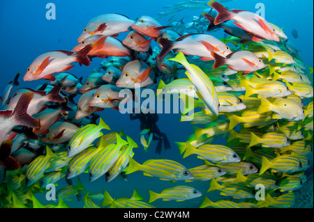 Schooling Bluestripe Snappers, Lutjanus kasmira and Humpback Snapper, Lutjanus gibbus, Sodwana Bay, South Africa - Stock Photo