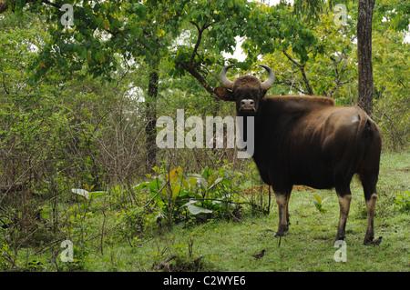 Indian Gaur (Bos gaurus) - Stock Photo