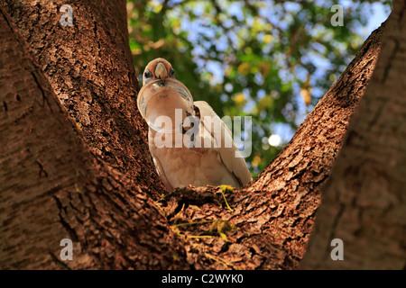 Little Corella Cockatoo ( Cacatua pastinator ) in a tree with plastic container in its beak, Pilbara, Northwest - Stock Photo