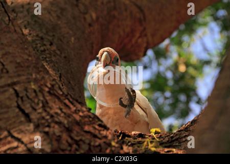 Little Corella Cockatoo ( Cacatua pastinator ) in a tree with plastic container in beak, Pilbara, Northwest Australia - Stock Photo