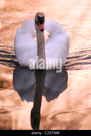 Single Mute Swan on a tranquil River Avon in Warwickshire at Sunset - Stock Photo