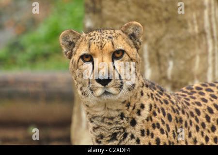 Profile Of A Cheetah