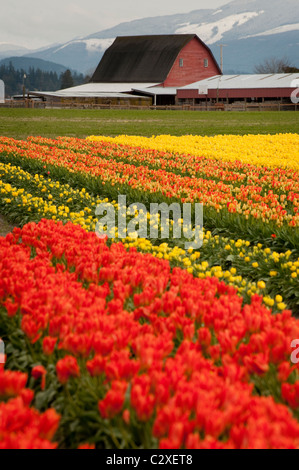 A sure sign of springtime is the emergence of the colorful tulips in the Skagit Valley near Mt. Vernon, Washington - Stock Photo