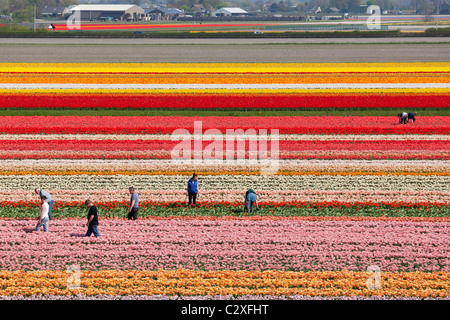 Farm workers working, weeding by hand, in Dutch tulip fields near Lisse, Dutch Dune and Bulb Region, Holland, The - Stock Photo