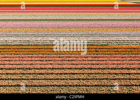 Dutch tulip fields in full bloom near The Keukenhof Flower Garden in Lisse, Holland, The Netherlands. - Stock Photo