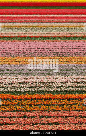 Dutch tulip fields in full bloom next to The Keukenhof Garden in Lisse, Holland, The Netherlands. - Stock Photo