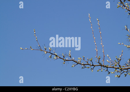 The buds of a hawthorn tree about to open up in spring in Southern England. There is plenty of room for you text. - Stock Photo