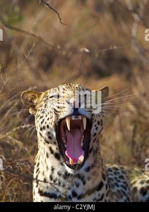 A close-up of a Leopard yawning, Ithala, Kwazulu-Natal, South Africa - Stock Photo