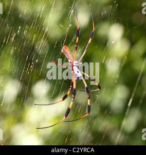Golden Silk Orb-weaver (Nephila clavipes) - Stock Photo