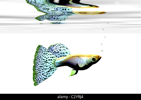 Colorful fancy male guppy swims in an aquarium. - Stock Photo