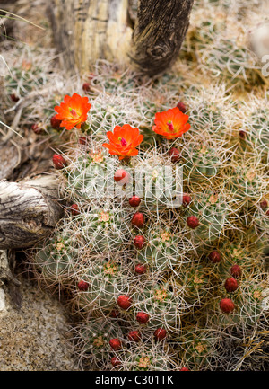 Mojave Mound cactus (Claret Cup) blooms in spring - Mojave desert, California USA