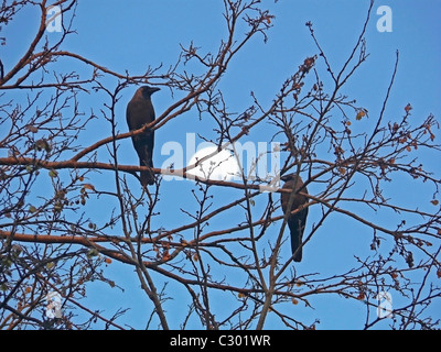 A house crow, Corvus Splendens are seating on a dry tree - Stock Photo