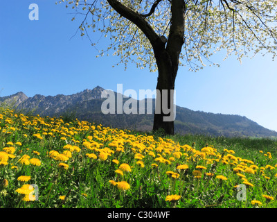 The Three Sisters mountain range framed by a sea of yellow flowers, Liechtenstein FL - Stock Photo