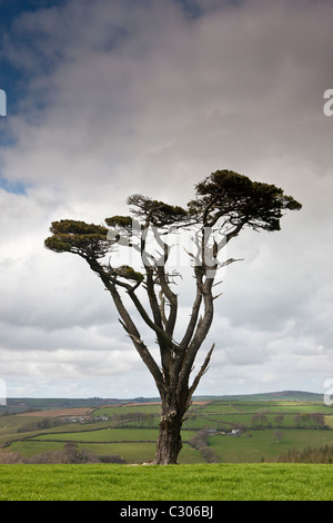 Lone Scots Pine on Bodmin Moor, Cornwall, England, UK - Stock Photo