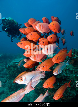 School of big-eyes or glass-eye snapper, Heteropriacanthus cruentatus and scuba diver - Stock Photo