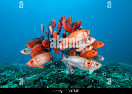 Schooling  big-eye or glass-eye snapper, Heteropriacanthus cruentatus, Sodwana Bay, South Africa, Indian Ocean - Stock Photo