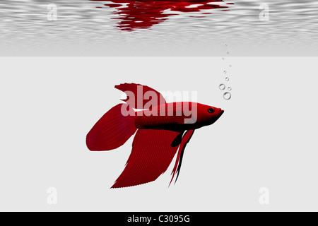 Red betta male aquarium fish. - Stock Photo