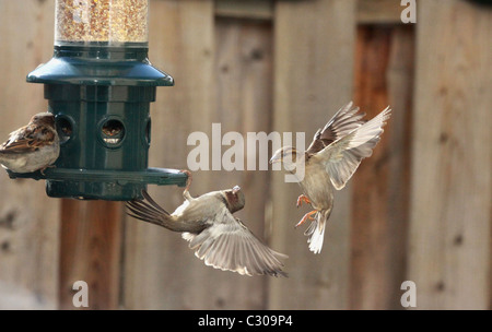 birds, sparrows, winter, bird seed, competition - Stock Photo