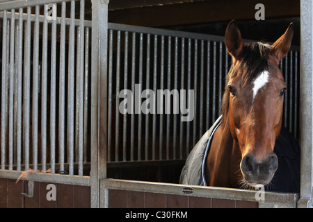 Race Horse in stable at Malzard Riding Stable, Jersey, Channel Islands - Stock Photo