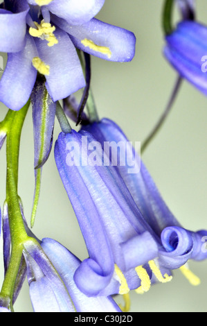 English Bluebells with close up macro lens - Stock Photo