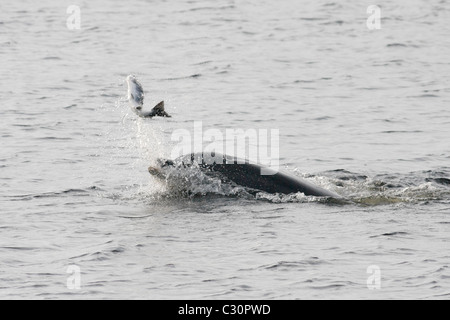 Bottlenose dolphin (Tursiops truncatus) hunting a fish (salmon , Salmo salar), Moray Firth, Highlands, Scotland - Stock Photo