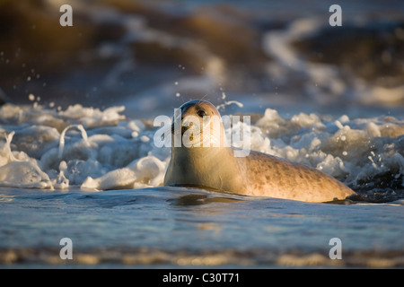 Atlantic Grey Gray Seal Halichoerus grypus swimming in the sea close to the shore  during winter on the Lincolnshire - Stock Photo