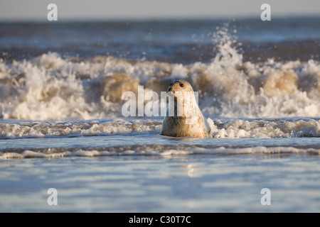 Atlantic Grey Gray Seal Halichoerus grypus playing at the waters edge during winter on the Lincolnshire coast - Stock Photo