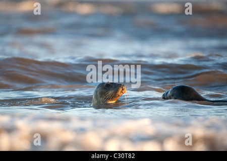 Atlantic Grey Gray Sealsl Halichoerus grypus playing in the sea during winter on the Lincolnshire coast - Stock Photo