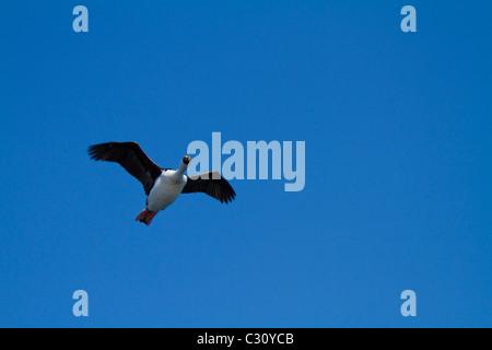 Blue-eyed shag in flight near Shag Rocks, South Atlantic Ocean - Stock Photo
