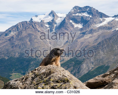 Alpine Marmot in the Swiss alps Spielboden above Saas Fee - Stock Photo