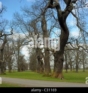 Sweet Chestnut Trees, castanea sativa - Stock Photo