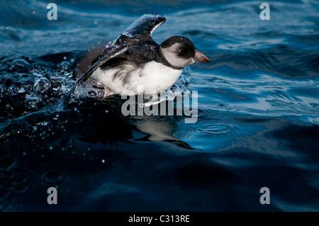 Juvenile Atlantic Puffin (Fratercula arctica) - Stock Photo