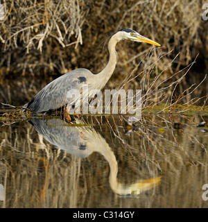 A great blue heron reflected at sunrise in a beaver pond - Stock Photo