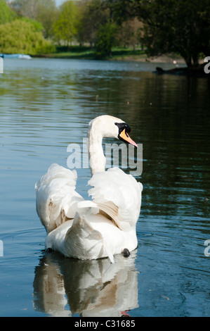 Mute Swan ,London,England - Stock Photo