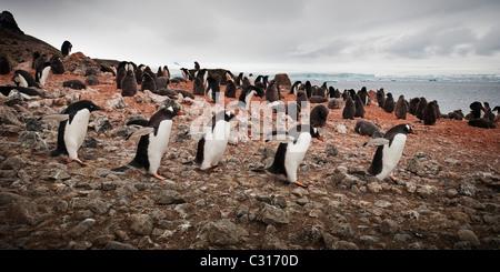 Adélie penguin following a group of Gentoo penguins marching on Brown Bluff, Antarctica. - Stock Photo